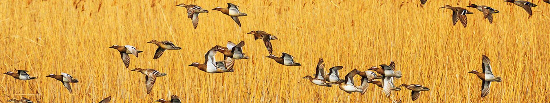 Waterfowl Flying